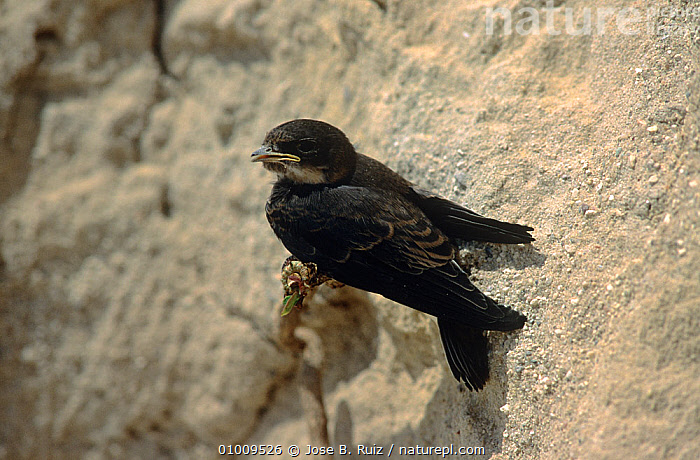 Sand martin (Riparia riparia) fledgling just out of nest, Spain., BIRDS,EUROPE,JUVENILE,NESTS,RIVERS,SPAIN,SWALLOWS,VERTEBRATES, Jose B. Ruiz