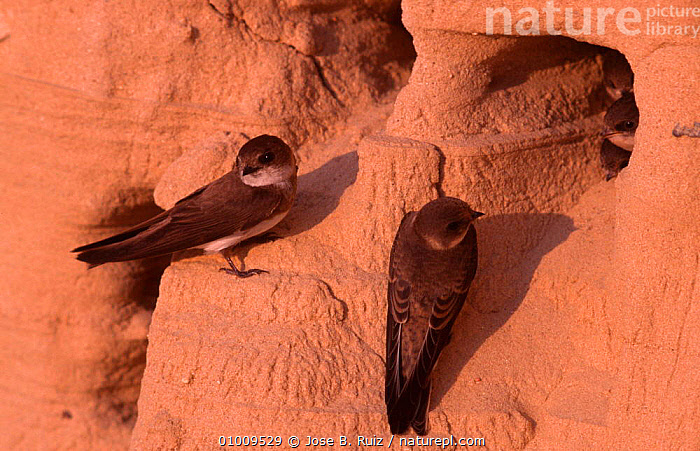 Sand martins at nest site in river bank (Riparia riparia) Spain, BIRDS,NESTS,RIVERS,SWALLOWS, Jose B. Ruiz