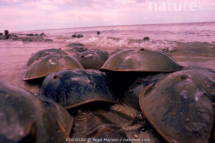 Horseshoe (King) crabs laying eggs in sand. Delaware Bay New Jersey, USA. Happens at full moon  ,  GROUPS,MARINE,SEA,ATLANTIC,OCEAN,DELAWARE,EGGS,NM,USA,ARTHROPODS,BEACHES,SAND,SPAWNING,KING,NORTH AMERICA  ,  NIGEL MARVEN