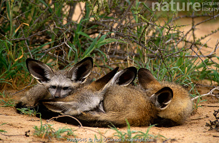 Three young Bat Eared Foxes (Otocyon megalotis) sleeping together, Kalahari Gemsbok NP, South Africa, BABIES,BEHAVIOUR,CANIDS,CARNIVORES,CUTE,DESERTS,DOGS,FOXES,GROUPS,JUVENILE,MAMMALS,SOUTHERN AFRICA,VERTEBRATES ,Kgalagadi,Transfrontier, Ron O'Connor
