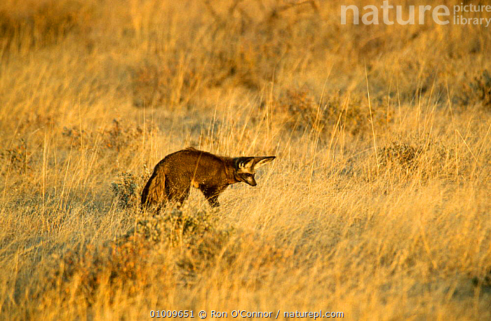 Bat Eared Fox (Otocyon megalotis) hunting in long grass.  Etosha NP, Namibia  ,  BEHAVIOUR,CANIDS,CARNIVORES,DOGS,EARS,FOXES,LISTENING,MAMMALS,PREDATION,RESERVE,SOUTHERN AFRICA,VERTEBRATES  ,  Ron O'Connor