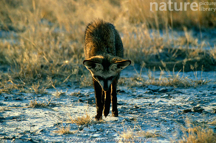 Bat Eared Fox (Otocyon megalotis) hunting for insects,  Etosha NP, Namibia, BEHAVIOUR,CANIDS,CARNIVORES,DESERTS,DOGS,FOXES,MAMMALS,PREDATION,RESERVE,SOUTHERN AFRICA,VERTEBRATES, Ron O'Connor