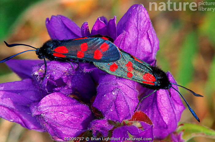Six Spot Burnet Moths mating on bellflower, Scotland, COLOURFUL,EUROPE,MALE FEMALE PAIR,INSECTS,COPULATION,BL,HORIZONTAL,MATING BEHAVIOUR,SCOTLAND,FLOWER,UK,UNITED KINGDOM,REPRODUCTION,INVERTEBRATES,BRITISH,LEPIDOPTERA, Brian Lightfoot