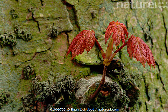 Young Sycamore tree leaves, Scotland, BARK,BL,EUROPE,LEAVES,PLANTS,PSEUDOPLATUNUS,RED,SCOTLAND,SPRING,TREES,YOUNG, Brian Lightfoot