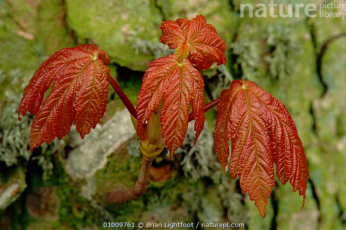 Young Sycamore tree leaves, Scotland, BARK,BL,BRITISH,EUROPE,KINEFF,LEAF,LEAVES,PLANTS,PSEUDOPLATUNUS,RED,SCOTLAND,TREES,UK,UNITED KINGDOM,YOUNG, Brian Lightfoot