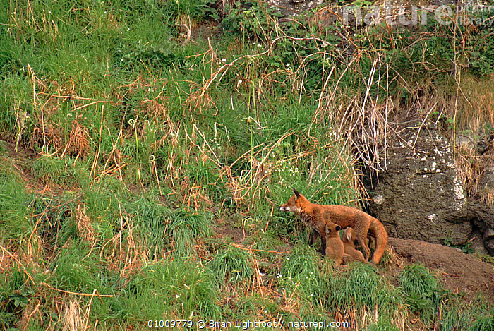 Red Fox cubs suckling, Scotland, SUCKLING,CARNIVORES,UK,SCOTLAND,BABIES,EUROPE,MAMMALS,FAMILIES,BL,UNITED KINGDOM,BRITISH,DOGS,CANIDS, Brian Lightfoot