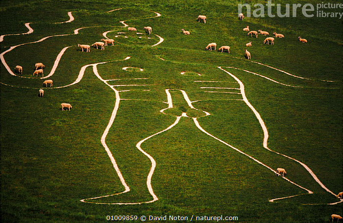 'The Giant' (chalk man) with sheep grazing, Cerne Abbas, Dorset, UK  ,  ABBAS,ARCHAEOLOGY,BRITISH,CERNE,CHALK,CULTURES,DNO,DOWNLAND,EUROPE,FARMLAND,GIANT,GRASSLAND,GRAZING,INTERESTING,MALES,MAN,SEX ORGANS,SHEEP,UK,UNITED KINGDOM,ENGLAND  ,  David Noton