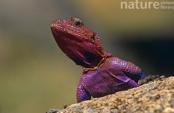 Agama lizard on rock (Agama agama) Serengeti NP, East Africa  ,  AFRICA,AGAMAS,EAST AFRICA,HEADS,LIZARDS,PORTRAITS,REPTILES,SKIN,TROPICAL,VERTEBRATES,,Serengeti National Park, UNESCO World Heritage Site,  ,  Bernard Castelein