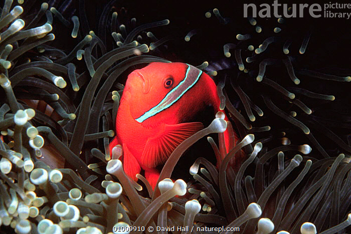 Tomato anemonefish or clownfish (Amphiprion frenatus) in sea anemone, Philippines  ,  ANEMONE,CORAL REEFS,DAMSELFISH,FISH,INDO PACIFIC,MARINE,OSTEICHTHYES,PACIFIC OCEAN,SEA,SOUTH EAST ASIA,TROPICAL,VERTEBRATES,Asia  ,  David Hall