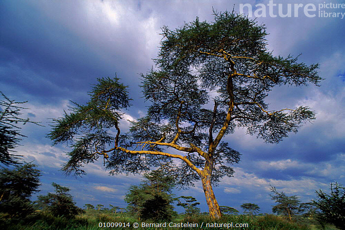 Yellow barked Acacia in the Serengeti, Tanzania, East Africa, AFRICA, DICOTYLEDONS, FABACEAE, GRASSLAND, HORIZONTAL, LANDSCAPES, LEGUME, PLANTS, SAVANNA, TREES,,Serengeti National Park, UNESCO World Heritage Site,, Bernard Castelein