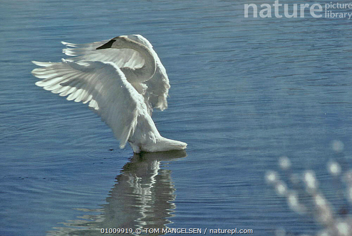 Trumpeter Swan flapping wings. (Cygnus buccinator) US National Elk Refuge, Wyoming  ,  BIRDS, LAKES, SWANS, USA, VERTEBRATES, WATER, WATERFOWL, WINGS,North America,Wildfowl  ,  TOM MANGELSEN