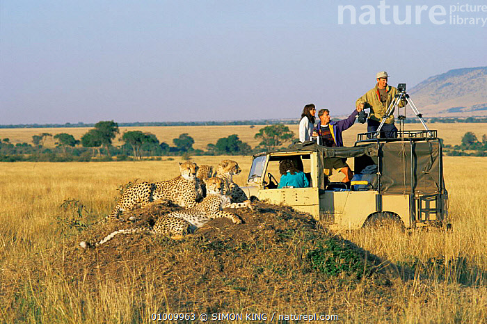 Cheetah family (Acinonyx jubatus) resting on termite mound and BBC film crew in landrover, Masai Mara Game Reserve, Kenya, East Africa  ,  AFRICA,Big Cat Diary,BIG CATS,CARNIVORES,CATS,CHEETAHS,EAST AFRICA,FAMILIES,GROUPS,LANDSCAPES,MAMMALS,NP,PEOPLE,resting,SAVANNA,VEHICLES,VERTEBRATES,Grassland,National Park  ,  SIMON KING