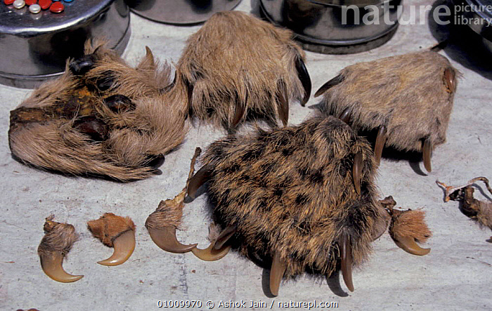 Nails and paws of Tigers and Leopards on sale. Delhi India Roadside Market, CARNIVORES,CATS,CHARMS,HORRIFIC,INDIAN SUBCONTINENT,MAMMALS,MEDICINE,POACHING,SALE,TRADE,WILDLIFE,ASIA,TIGERS,BIG CATS, Ashok Jain