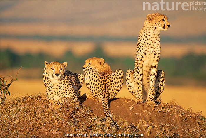 Three Cheetahs (Acinonyx jubatus) resting on termite mound, looking in different directions, Masai Mara NP, Kenya, East Africa  ,  AFRICA,BIG CATS,CARNIVORES,CATS,CHEETAHS,EAST AFRICA,GROUPS,MAMMALS,NP,PORTRAITS,SITTING,VERTEBRATES,National Park  ,  SIMON KING