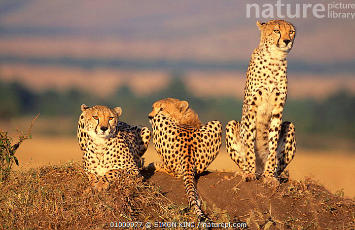 Cheetah mother and two cubs (Acinonyx jubatus) on termite mound, Masai Mara NP, Kenya, East Africa  ,  AFRICA,BIG CATS,CARNIVORES,CATS,CHEETAHS,EAST AFRICA,FAMILIES,GRASSLAND,GROUPS,MAMMALS,NP,PORTRAITS,RESTING,SAVANNA,THREE,VERTEBRATES,National Park  ,  SIMON KING