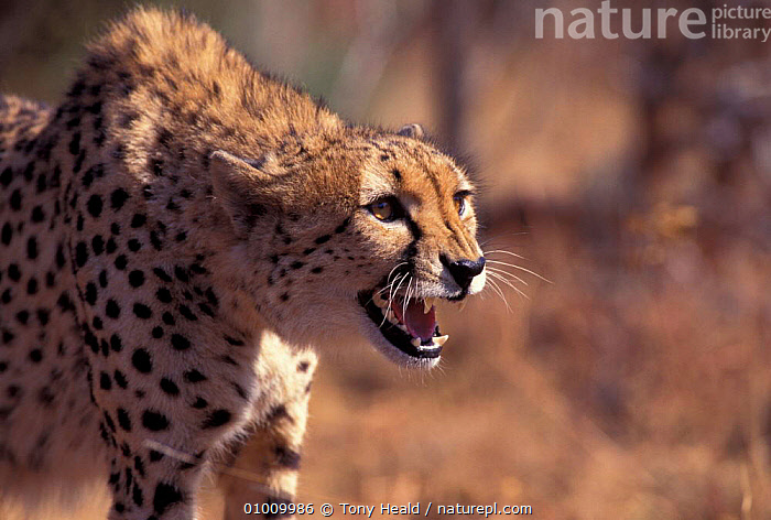 Cheetah (Acinonyx jubatus) snarling, South Africa. Captive, AFRICA,AGGRESSION,CATS,CENTRE,HEADS,MAMMALS,SOUTHERN AFRICA,TEETH,CONCEPTS,Catalogue1, Tony Heald