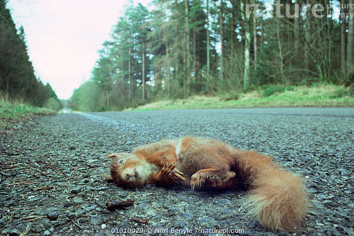 Dead red squirrel, road kill casualty, Scotland  ,  CONIFEROUS,DEATH,MAMMALS,RED,ROADS,RODENTS,SCOTLAND,SQUIRRELS,VERTEBRATES,Europe  ,  Niall Benvie