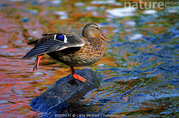 Mallard duck female, USA, OUTSTANDING,,VERTICAL,WATER,BIRDS,WATERFOWL,HORIZONTAL,LM,USA,FEMALES ,RIVERS,NORTH AMERICA, Larry Michael