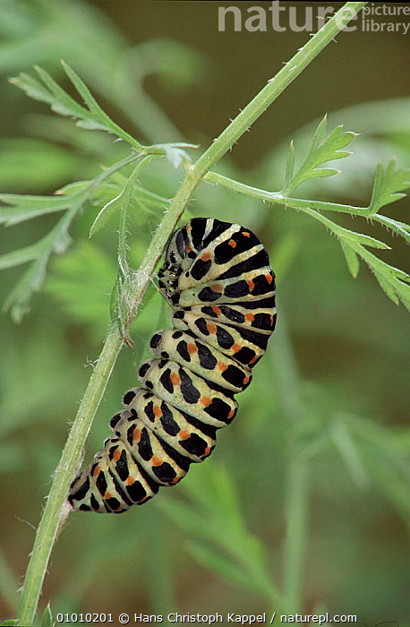 Swallowtail butterfly caterpillar pupating. Life cycle sequence (3) Larva beginning to pupate .  ,  METAMORPHOSIS,CYCLE,LIFE,CATERPILLAR,HK,VERTICAL,SEQUENCE,EUROPE,LARVAE,INSECTS,GROWTH,INVERTEBRATES,LEPIDOPTERA,Concepts  ,  Hans Christoph Kappel