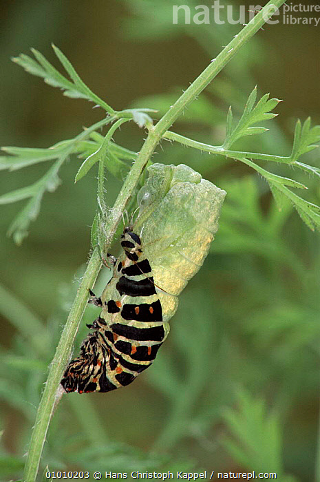 Swallowtail butterfly caterpillar pupating. Life cycle sequence (5) Larva pupating. Captive  ,  SEQUENCE,CATERPILLAR,PUPATING,LIFE,INSECTS,CYCLE,EUROPE,LARVAE,INTERESTING,METAMORPHOSIS,VERTICAL,GROWTH,INVERTEBRATES,LEPIDOPTERA,Concepts  ,  Hans Christoph Kappel