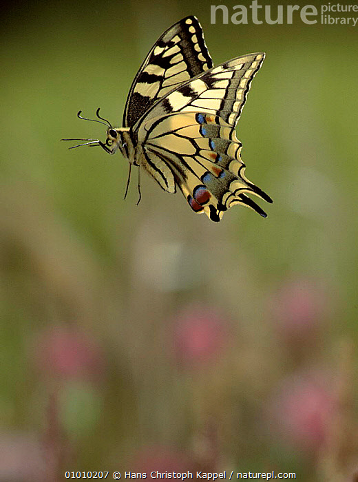 Swallowtail butterfly flying. Life cycle sequence (7) Adult., EUROPE,OUTSTANDING,CYCLE,FLYING,HK,VERTICAL,WINGS,INSECTS,SEQUENCE,INVERTEBRATES,LEPIDOPTERA, Hans Christoph Kappel