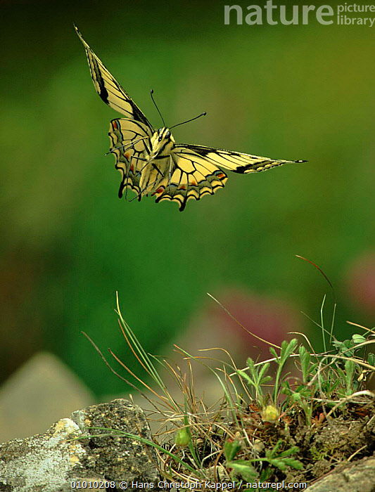 Swallowtail butterfly flying, Germany, Europe, EUROPE,FLYING,GERMANY,HK,INSECTS,OUTSTANDING,PORTRAITS,VERTICAL,WINGS,INVERTEBRATES,LEPIDOPTERA, Hans Christoph Kappel
