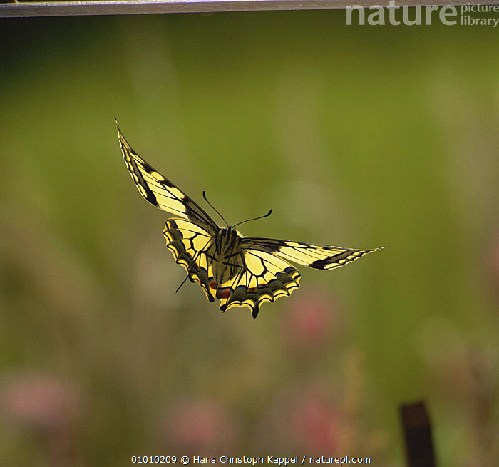 Swallowtail Butterfly {Papilio machaon} in flight, captive, BUTTERFLIES,FLYING,INSECTS,INVERTEBRATES,LEPIDOPTERA,SWALLOWTAIL BUTTERFLIES,Catalogue1, Hans Christoph Kappel