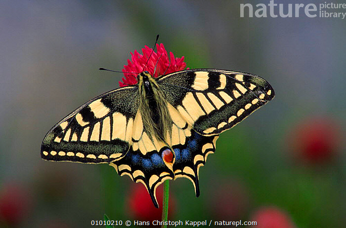 Swallowtail butterfly (Papilio machaon) on flower  ,  INVERTEBRATES,HORIZONTAL,CAPTIVE,PORTRAITS,FLOWERS,INSECTS,PATTERNS,WINGS,LEPIDOPTERA  ,  Hans Christoph Kappel