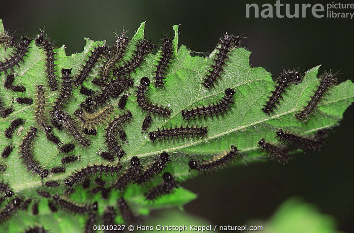Map Butterfly {Araschnia levana} caterpillars feeding on nettle. Sequence - life cycle, ARTHROPODS,BUTTERFLIES,FEEDING,GROUPS,INSECTS,INVERTEBRATES,LARVAE,LEAVES,LEPIDOPTERA,PLANTS,SEQUENCE, Hans Christoph Kappel