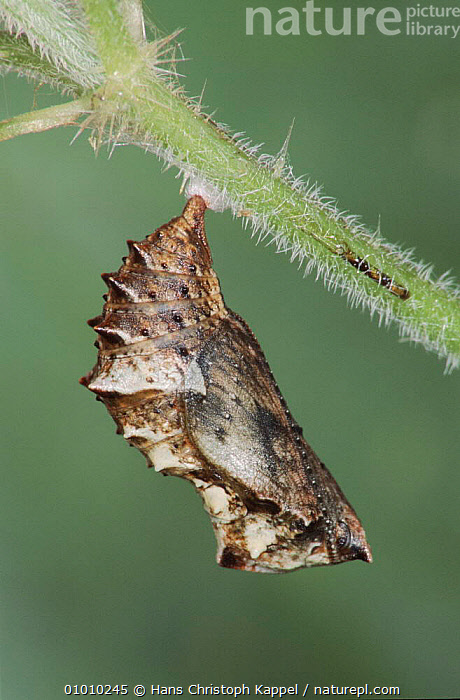 Map butterfly chrysalis suspended from Nettle stem. Life cycle sequence 6/6  ,  CHRYSALIS,EUROPE,CYCLE,NETTLE,HK,LIFE,BUTTERFLY,GERMANY,INSECTS,SEQUENCE,BUTTERFLIES,C,VERTICAL,PUPA,INVERTEBRATES,LEPIDOPTERA  ,  Hans Christoph Kappel
