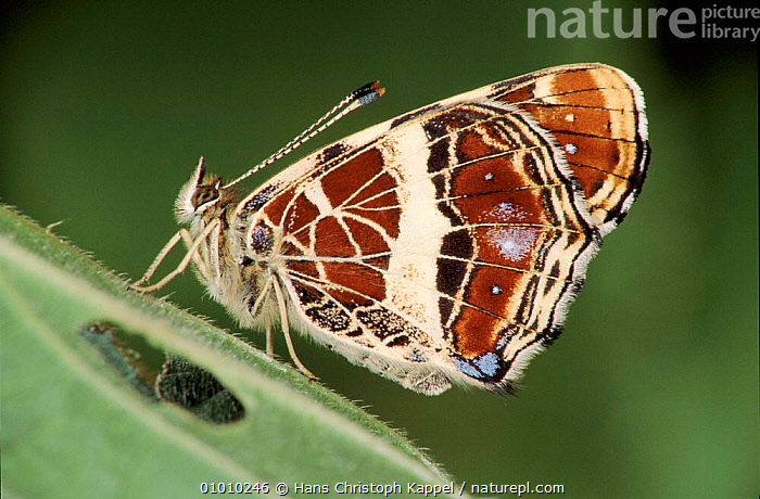 Map Butterfly on nettle leaf.  ,  INSECTS,VERTICAL,PORTRAITS,EUROPE,HK,WINGS,INVERTEBRATES,LEPIDOPTERA  ,  Hans Christoph Kappel