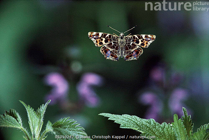 Map Butterfly flying. Life cycle sequence 1/6, EUROPE,HK,CYCLE,FLYING,HORIZONTAL,OUTSTANDING,SEQUENCE,INSECTS,INVERTEBRATES,LEPIDOPTERA,Catalogue1, Hans Christoph Kappel