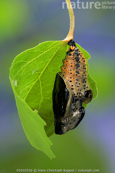 Poplar Admiral butterfly emerging from chrysalis. (Limenitis populi) Sequence (3) life cycle, captive, ARTHROPODS,BUTTERFLIES,EUROPE,INSECTS,INVERTEBRATES,LEPIDOPTERA,METAMORPHOSIS,PUPAE,VERTICAL,Growth,Concepts, Hans Christoph Kappel