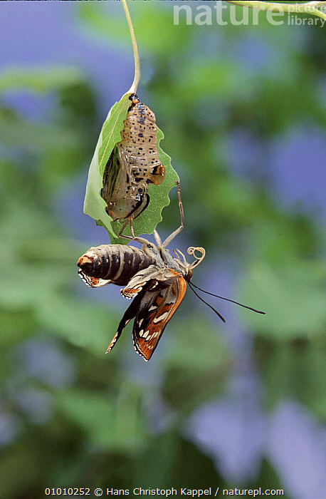 Poplar Admiral newly emerged from chrysalis. Life cycle sequence 5  ,  INTERESTING,INSECTS,METAMORPHOSIS,OUTSTANDING,SEQUENCE,EUROPE,VERTICAL,CYCLE,HK,EMERGING,GROWTH,INVERTEBRATES,Concepts  ,  Hans Christoph Kappel