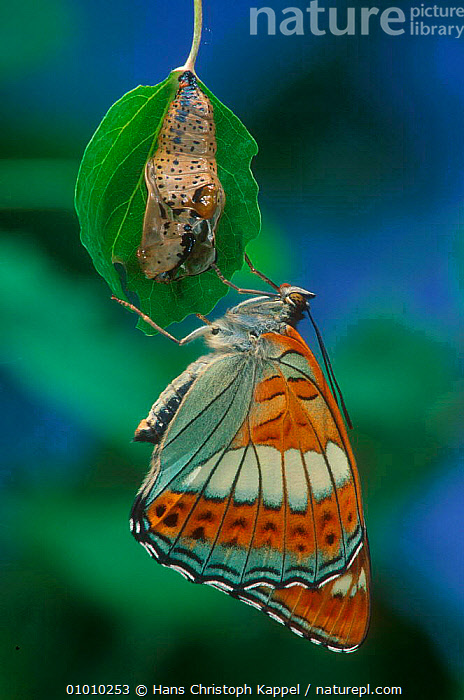 Poplar Admiral butterfly adult just emerged from chrysalis.  ,  ADULT,CHRYSALIS,CYCLE,HK,INSECTS,INVERTEBRATES,JUNE,LIFE,METAMORPHOSIS,OUTSTANDING,PORTRAITS,PUPA,SEQUENCE,GROWTH,NEW,BEGINNINGS,Concepts  ,  Hans Christoph Kappel