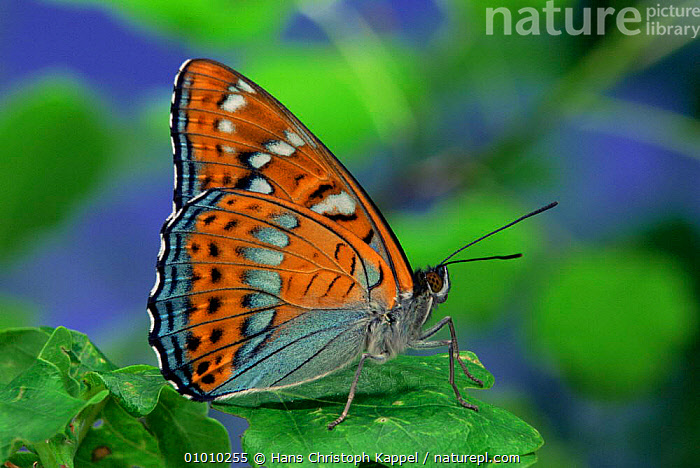 Poplar Admiral male (Limenitis populi) Sequence (8) life cycle, captive,, ARTHROPODS,BUTTERFLIES,EUROPE,INSECTS,INVERTEBRATES,LEPIDOPTERA,MALES,PORTRAITS, Hans Christoph Kappel