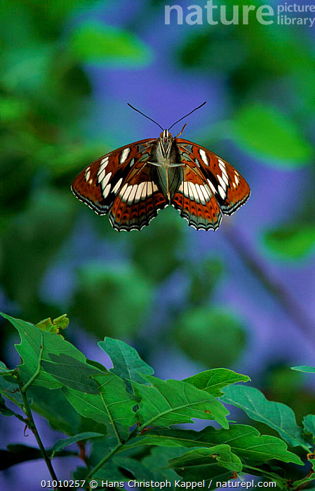 Poplar Admiral flying.  ,  VERTICAL,EUROPE,FLYING,HK,GERMANY,INSECTS,OUTSTANDING,INVERTEBRATES,Catalogue1  ,  Hans Christoph Kappel