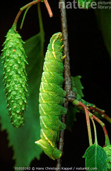 Kentish Glory moth caterpillar (Life cycle sequence 3)  ,  CYCLE,INSECTS,PORTRAITS,SEQUENCE,HORIZONTAL,CAMOUFLAGE,EUROPE,GREEN,HK,TREE,INVERTEBRATES,LEPIDOPTERA  ,  Hans Christoph Kappel