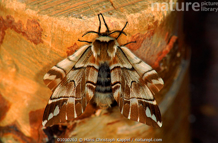 Kentish Glory Moth adult (Life cycle sequence 4)  ,  BROWN,INSECTS,LIFE,HK,HORIZONTAL,EUROPE,SEQUENCE,CYCLE,PORTRAITS,INVERTEBRATES,LEPIDOPTERA  ,  Hans Christoph Kappel