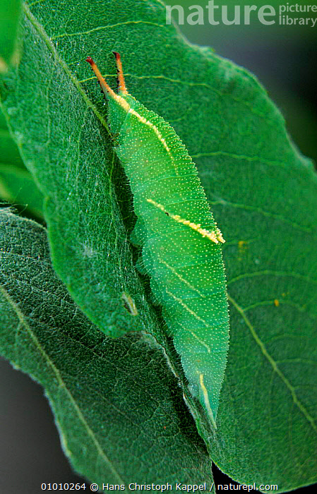 Lesser Purple Emperor butterfly caterpillar  ,  LEAF,EUROPE,HK,VERTICAL,GREEN,LARVAE,CAMOUFLAGE,INSECTS,INVERTEBRATES,LEPIDOPTERA  ,  Hans Christoph Kappel