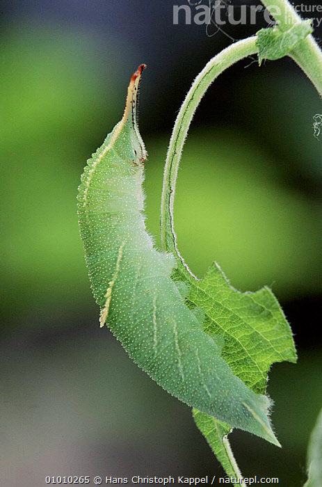 Lesser Purple Emperor caterpillar about to pupate  ,  CATERPILLAR,LARVAE,HK,EUROPE,GREEN,BUTTERFLIES,INSECTS,INVERTEBRATES,LEPIDOPTERA  ,  Hans Christoph Kappel