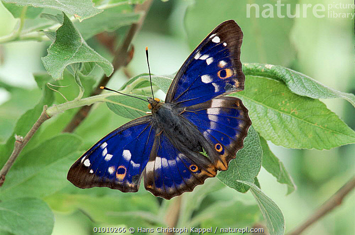 Lesser Purple Emperor butterfly.  ,  BUTTERFLIES,HORIZONTAL,BLUE,EUROPE,INSECTS,WINGS,ADULT,PORTRAITS,INVERTEBRATES,LEPIDOPTERA  ,  Hans Christoph Kappel