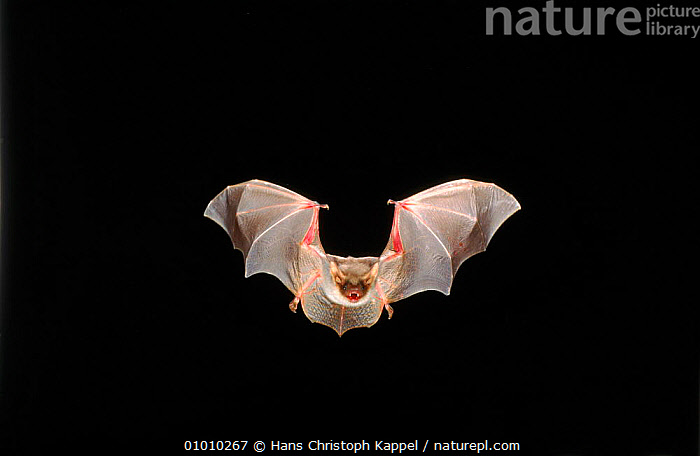 Greater mouse eared bat (Myotis Myotis) in flight, HORIZONTAL,CAPTIVE,NIGHT,OUTSTANDING,WINGS,CHIROPTERA,FLYING,MAMMALS,Muridae,Catalogue1, Hans Christoph Kappel