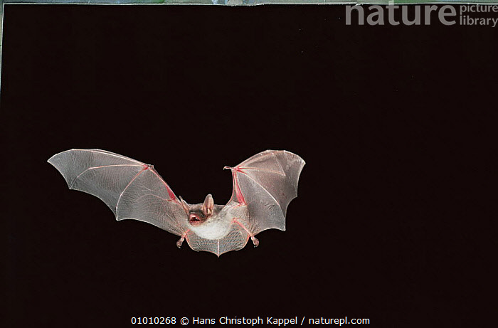 Greater mouse eared bat (Myotis myotis) flying at night, Germany, BATS,CHIROPTERA,EUROPE,FLYING,GERMANY,MAMMALS,NIGHT,NOCTURNAL,PORTRAITS,VERTEBRATES,WINGS, Hans Christoph Kappel