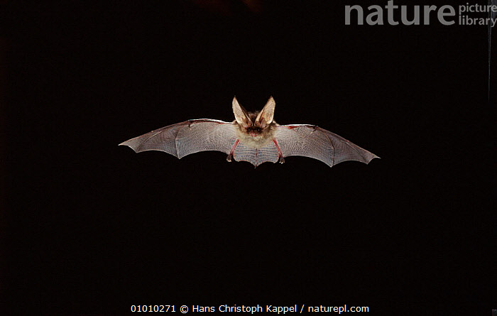 Long Eared Bat flying at night  ,  EUROPE,NIGHT,CHIROPTERA,MAMMALS,HORIZONTAL,OUTSTANDING,BAT,FLYING  ,  Hans Christoph Kappel