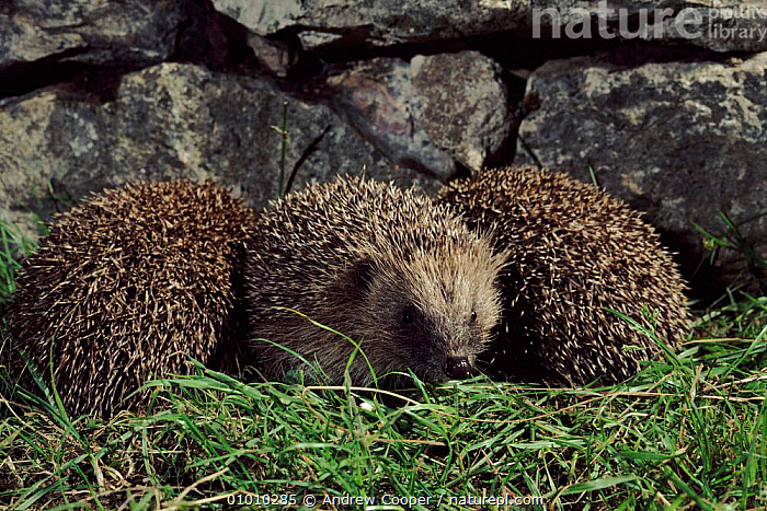 Young hedgehogs, 2 or 3 months old, UK  ,  HORIZONTAL,MAMMALS,DEVON,JUVENILE,ENGLAND,INSECTIVORES,EUROPE,ACO,THREE,UK,UNITED KINGDOM,BRITISH  ,  Andrew Cooper