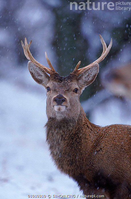 Red deer stag in snow, winter, Scotland.  ,  MALES,PORTRAITS,STAG,SCOTLAND,UK,ANTLERS,HEADS,SK,VERTICAL,EUROPE,WINTER,MAMMALS,SNOW,UNITED KINGDOM,BRITISH  ,  SIMON KING
