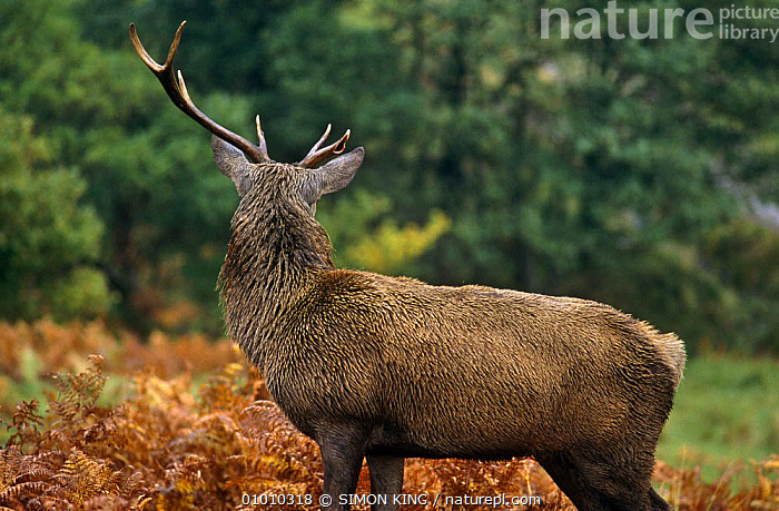 Red Deer stag with broken antler (Cervus elaphus)loss caused by fighting, Ranoch moor, Scotland, UK  ,  ARTIODACTYLA,CERVIDS,DEER,EUROPE,FIGHTING,MALES,MAMMALS,RED,SCOTLAND,TERRITORIAL,UK,VERTEBRATES,United Kingdom,Aggression,British,Concepts  ,  SIMON KING