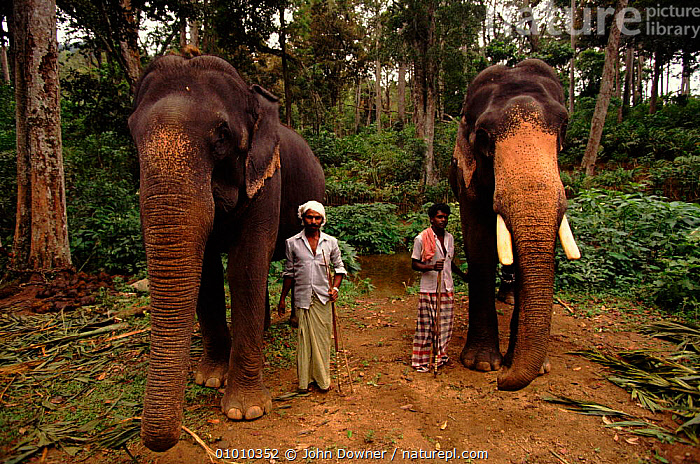 Indian elephants (Elephas maximus) logging. Western Ghats, India, PROBOSCIDS,PEOPLE,WOODLANDS,COOPERATION,INDIA,FORRESTRY,LOGGING,WESTERN,PORTRAITS,HORIZONTAL,GHATS,INDIAN SUBCONTINENT,MAMMALS,WORKING,ASIA,ELEPHANTS, John Downer