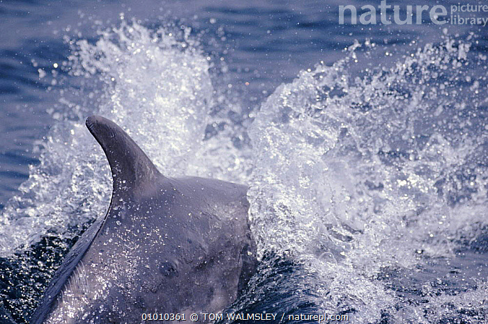 Bottle nosed dolphin swimming at speed, Gibraltar Bay, Mediterranean, CETACEANS,COASTAL WATERS,DOLPHINS,FINS,GIBRALTAR,HORIZONTAL,MAMMALS,MARINE,MEDITERRANEAN,SPEED,SWIMMING,TW, Mammals, TOM WALMSLEY